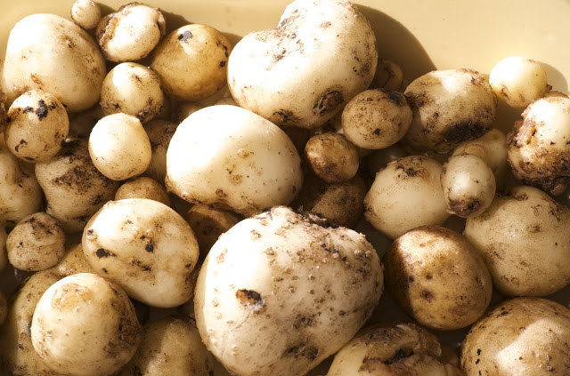 How to: Grow Delicious Potatoes in Containers