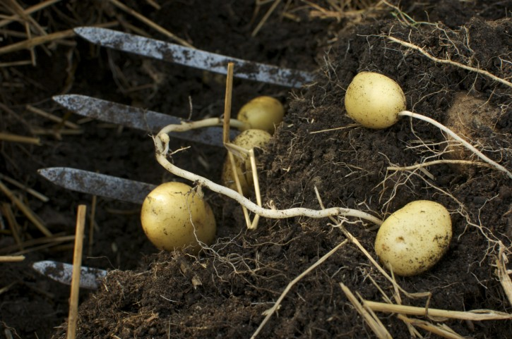 Easy Instructions to Grow Organic Potatoes in Containers