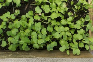 Black Radish Seedlings Growing in Crate c Laura Watt Cubits 2012