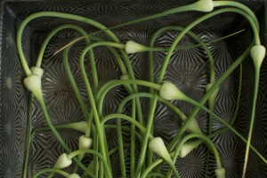 Garlic Scape Round up from Cubit's Organic Living
