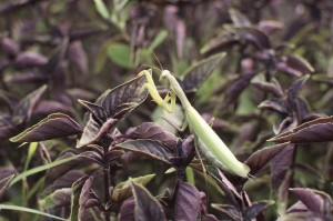 Praying Mantis in Dark Purple Opal Basil Cubits 2012