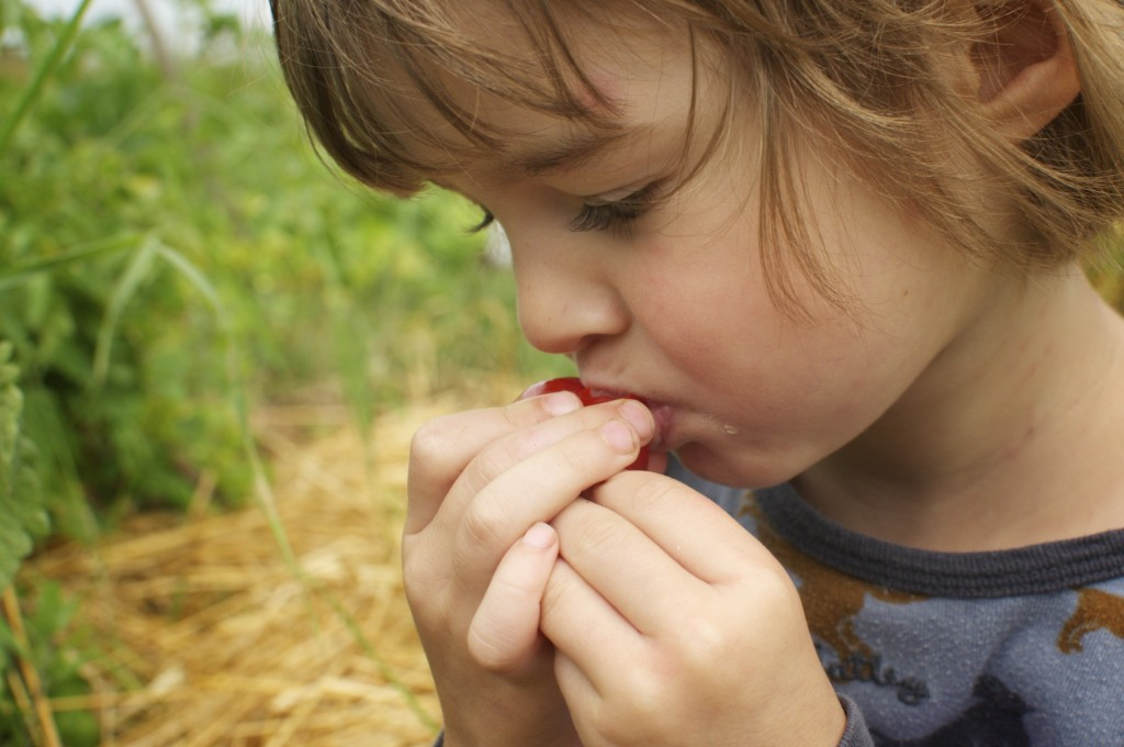 First tomato taste www.CubitsOrganics.com