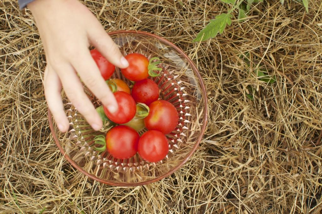 Picking tomatoes www.CubitsOrganics.com