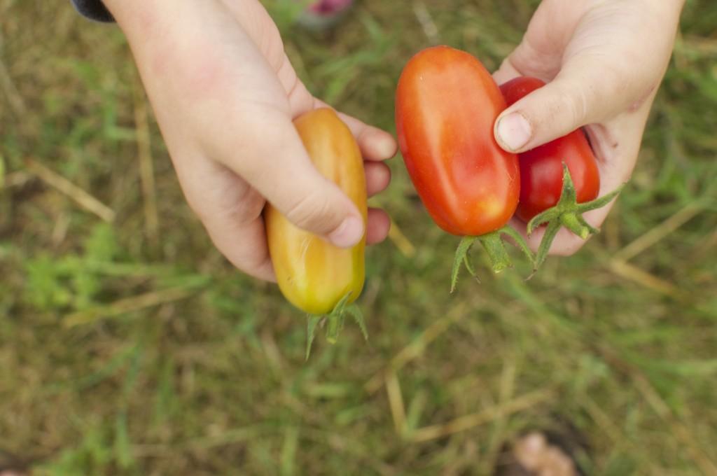 Picking San Marzano Tomatoes www.CubitsOrganics.com