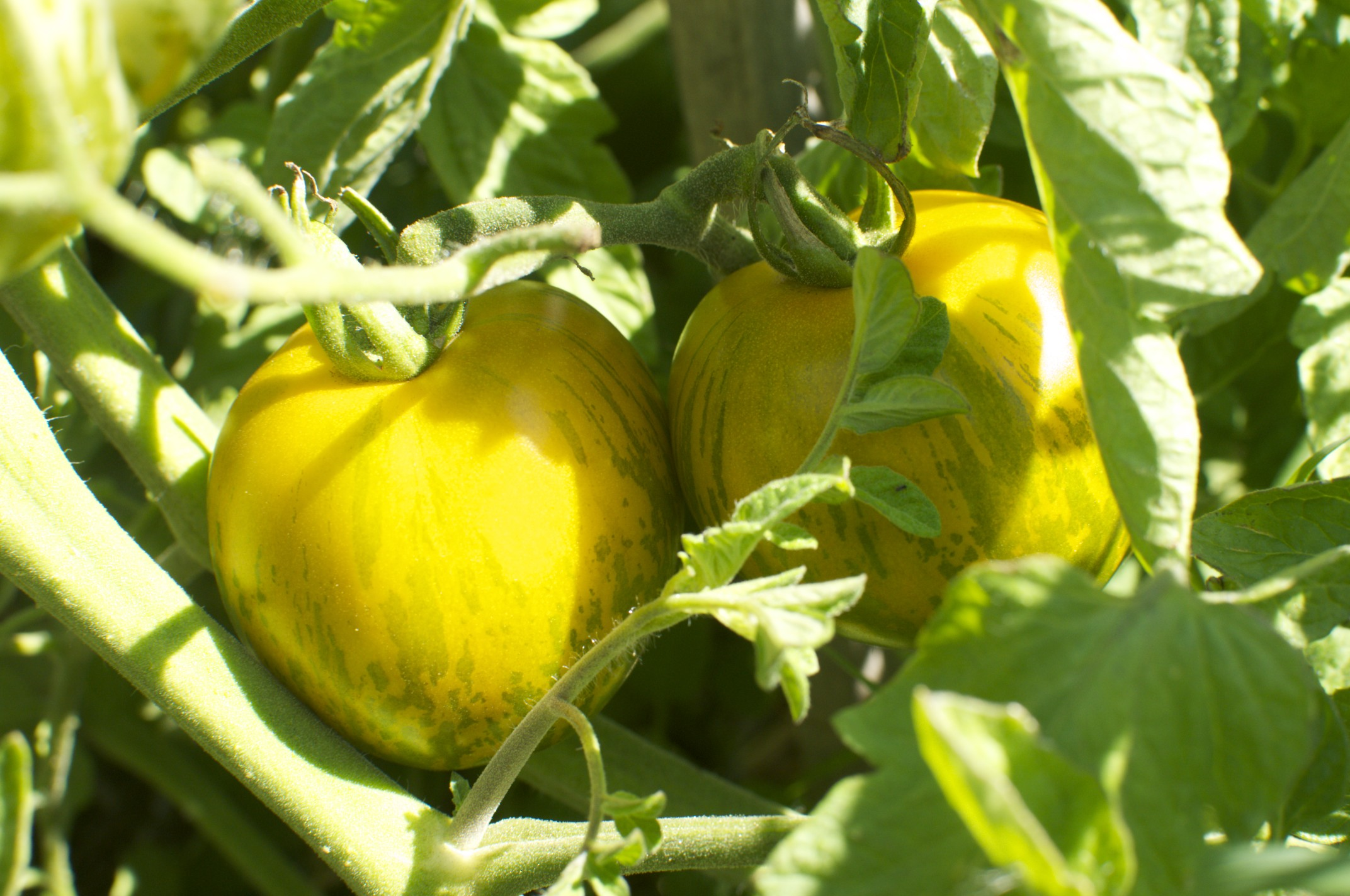 how to turn your green tomatoes red