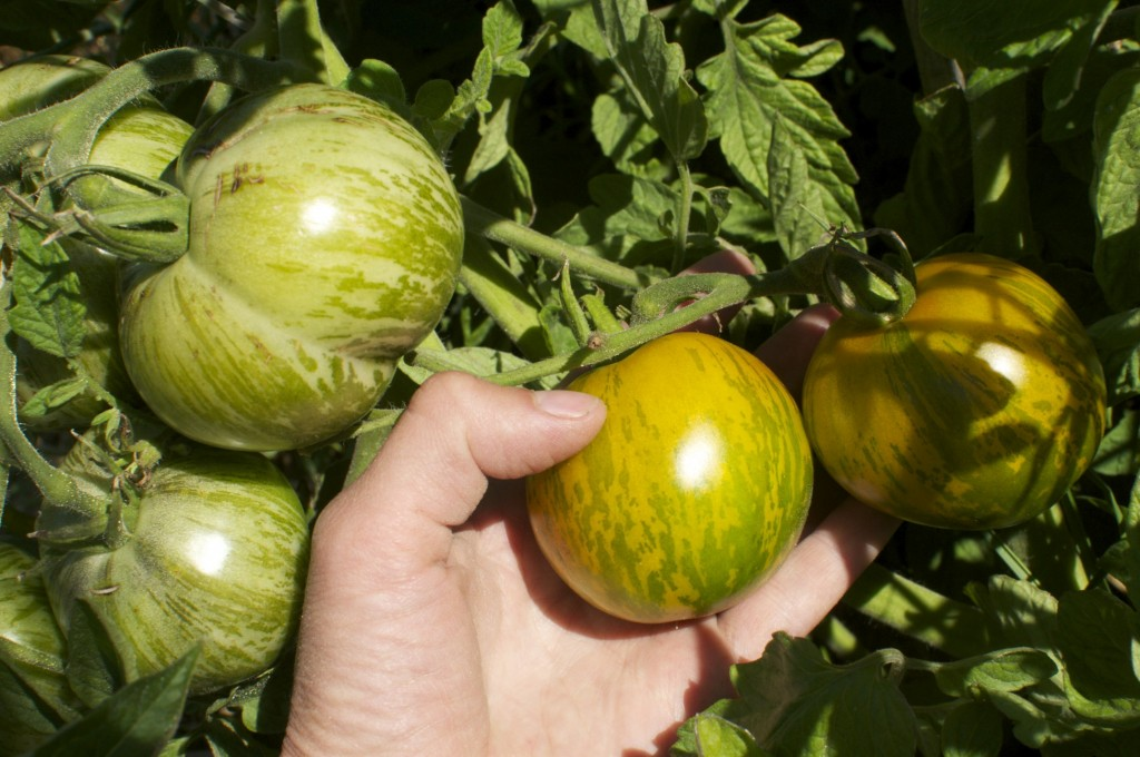 When to pick green tomatoes www.cubitsorganics.com