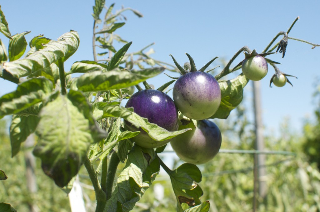 OSU Blue Tomatoes showing how the colour changes from top to bottom.