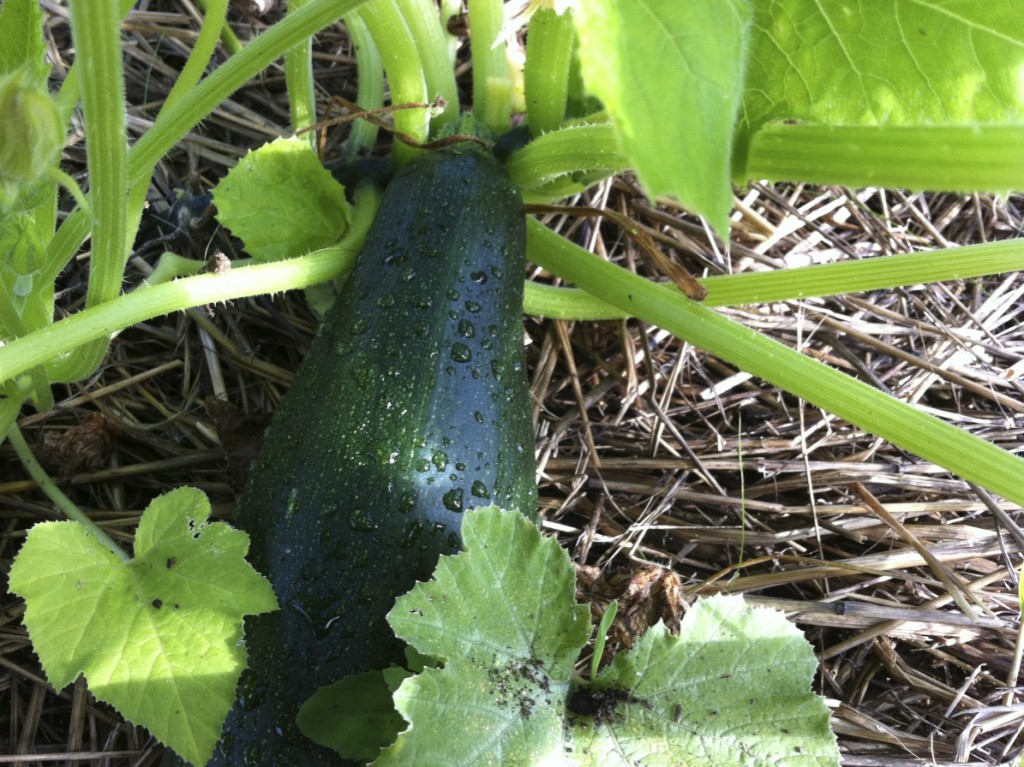 Black Beauty Zucchini on the vine www.cubitsorganics.com