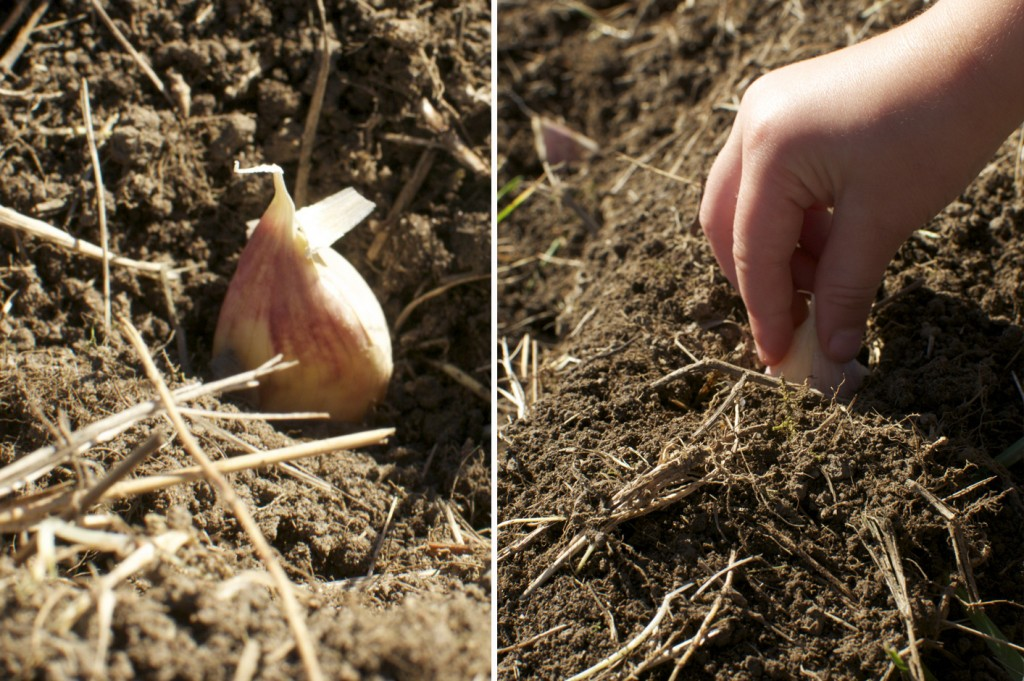 Plant Garlic pointing side up www.CubitsOrganics.com
