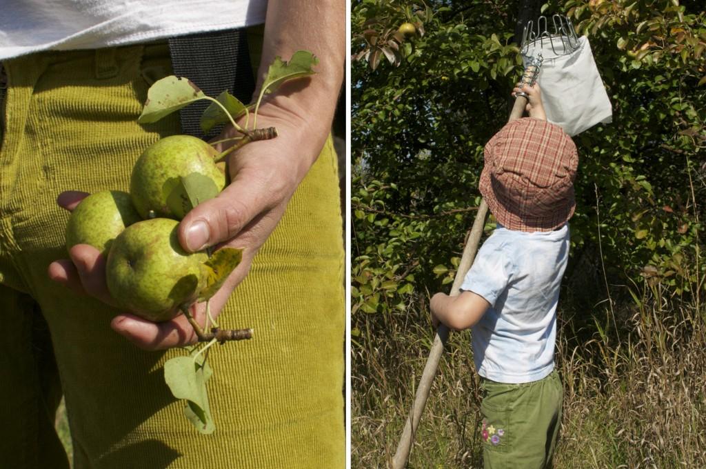 Picking Pears www.cubitsorganics.com