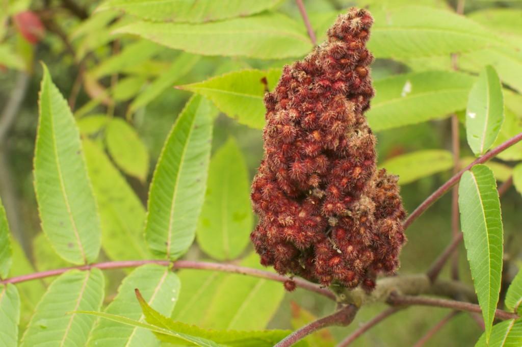Sumach Berries www.Cubitsorganics.com