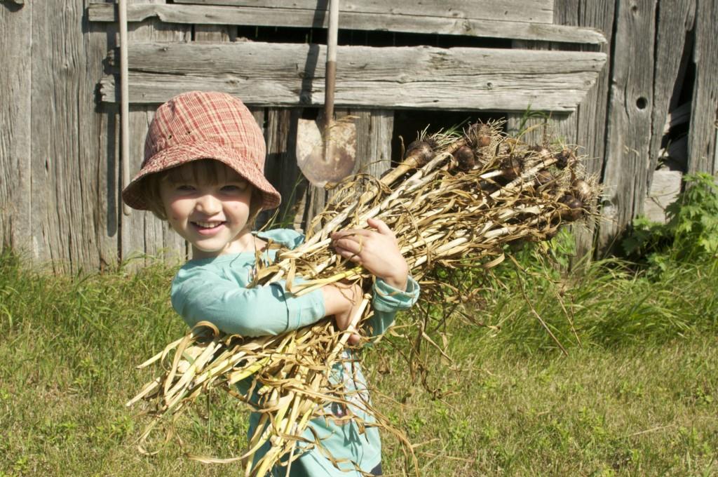 Harvesting Garlic www.CubitsOrganics.com