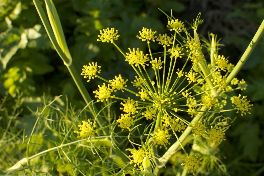 Fennel Seeds www.CubitsOrganics.com