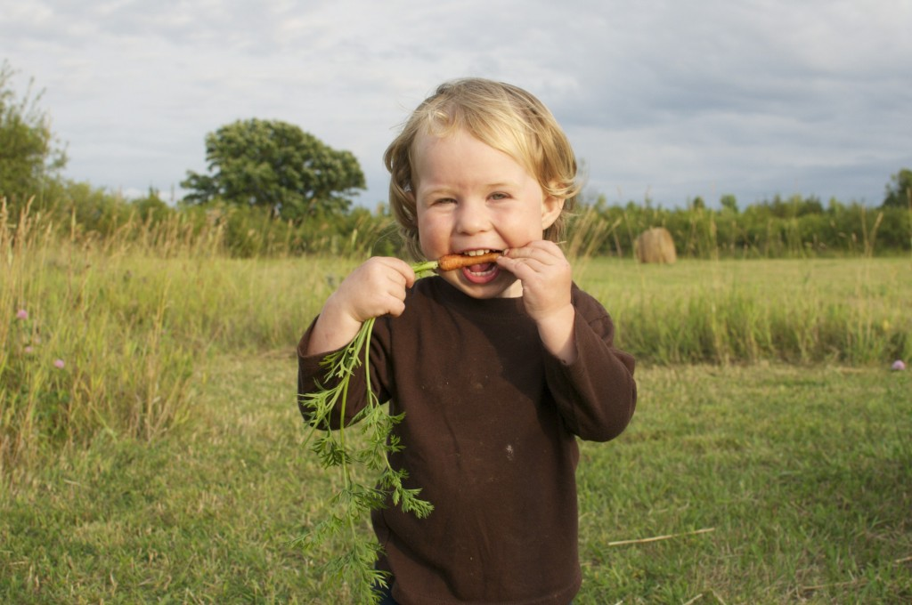 28.07.2014 Robin vs the carrot. His very first self-picked carrot.