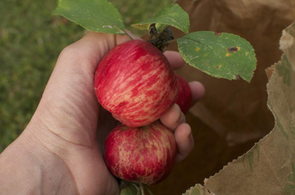 Ontario Apples www.cubitsorganics.com